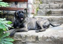 Dog Crate For Cane Corso