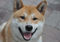 5 Best Dog Crates for Shiba Inus (Reviews Updated 2021)