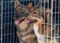 Dog Crate For Swedish Vallhunds