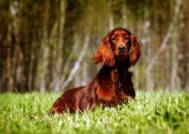 5 Best Dog Crates for Irish Setters (Reviews Updated 2021)