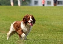Dog Food For English Springer Spaniels