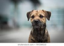 Dog Food For Border Terriers