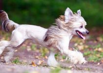 5 Best Dog Foods for Chinese Crested Dogs (Reviews Updated 2021)