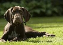 Dog Food For German Shorthaired Pointers