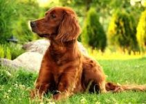 Dog Food For Irish Setter