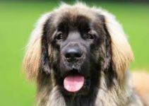 Dog Food For Leonbergers