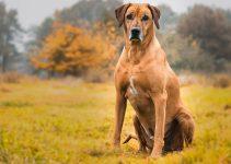 5 Best Dog Foods for Rhodesian Ridgebacks (Reviews Updated 2021)