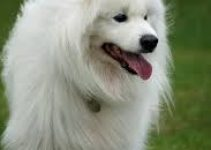 5 Best Dog Foods for Samoyeds (Reviews Updated 2021)