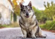 5 Best Dog Foods for Swedish Vallhunds (Reviews Updated 2021)