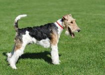 Dog Food For Wire Fox Terrier