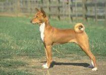 5 Best Dog Harnesses for Basenjis (Reviews Updated 2021)