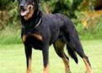 5 Best Dog Harnesses for Beaucerons (Reviews Updated 2021)