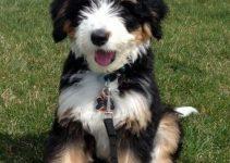 5 Best Dog Harnesses for Bernedoodles (Reviews Updated 2021)