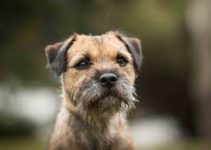 5 Best Dog Harnesses for Border Terriers (Reviews Updated 2021)