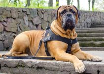 5 Best Dog Harnesses for Bullmastiffs (Reviews Updated 2021)