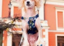 Dog Harness For Chinese Crested Dogs