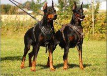 Dog Harness For German Pinschers