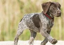 5 Best Dog Harnesses for German Shorthaired Pointers (Reviews Updated 2021)