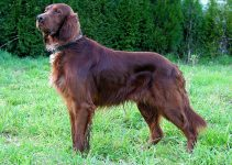5 Best Dog Harnesses for Irish Setters (Reviews Updated 2021)