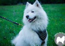 Dog Harness For Samoyeds