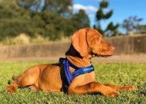 5 Best Dog Harnesses for Vizslas (Reviews Updated 2021)