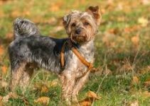 5 Best Dog Harnesses for Yorkipoos (Reviews Updated 2021)