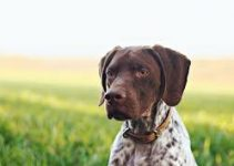 5 Best Dog Muzzles for German Shorthaired Pointers (Reviews Updated 2021)