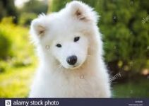 5 Best Dog Muzzles for Samoyeds (Reviews Updated 2021)