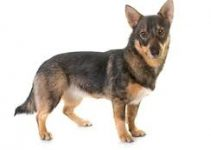 5 Best Dog Muzzles for Swedish Vallhunds (Reviews Updated 2021)