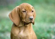 Dog Muzzle For Vizslas