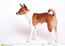 Dog Shampoo For Basenjis