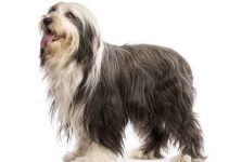 5 Best Dog Shampoos for Bearded Collies (Reviews Updated 2021)