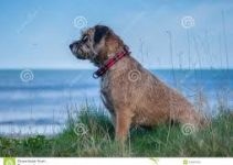5 Best Dog Shampoos for Border Terriers (Reviews Updated 2021)