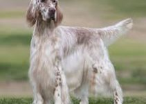 Dog Shampoo For English Setter