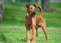 Dog Shampoo For Irish Terriers
