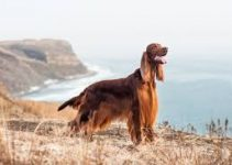 5 Best Dog Shampoos for Irish Setters (Reviews Updated 2021)