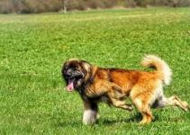 Dog Shampoo For Leonbergers