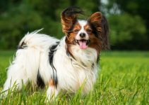 Dog Shampoo For Papillons