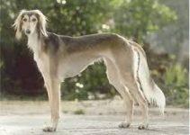 Dog Shampoo For Salukis