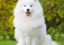 Dog Shampoo For Samoyeds