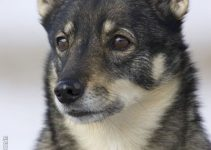 5 Best Dog Shampoos for Swedish Vallhunds (Reviews Updated 2021)