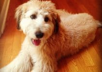 5 Best Dog Shampoos for Whoodles (Reviews Updated 2021)
