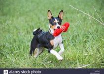 5 Best Dog Toys for Basenjis (Reviews Updated 2021)