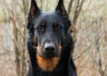 Dog Toys For Beauceron