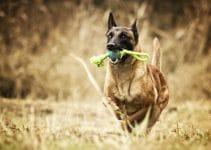 Dog Toys For Belgian Sheepdogs