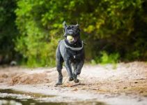 5 Best Dog Toys for Cane Corsos (Reviews Updated 2021)