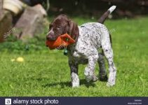 Dog Toys For German Shorthaired Pointers