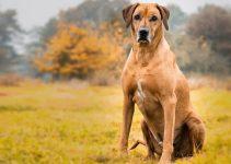 Dog Toys For Rhodesian Ridgebacks (reviews Updated 2020)