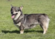5 Best Dog Toys for Swedish Vallhunds (Reviews Updated 2021)