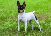 Dog Toys For Toy Fox Terriers